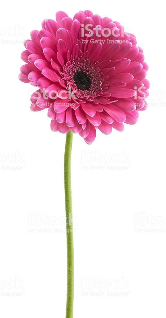 Gerbera Pink Color On The Stem Gerbera Pink Color Stock Images Free
