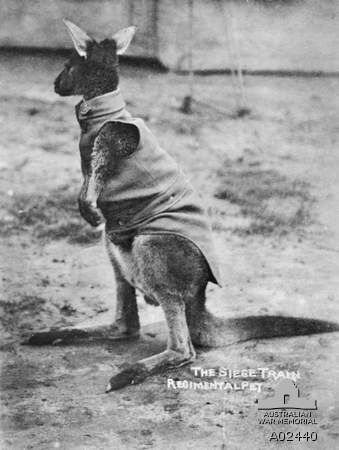 The kangaroo mascot of the Siege Brigade, 36th Heavy Artillery Brigade, Royal Australian Artillery, wearing a cut down service dress jacket with the Brigade badge on the collar. The kangaroo was presented to the West Australian Section of the Siege Brigade and taken to England and France. He did not survive very long, being affected by the cold of the 1915-1916 winters and was always worried by dogs. The photograph bears the inscription 'The Siege Train Regimental Pet'.