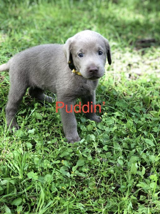 Puddin Female Silver Lab Born Sept 15 Adopt Labrador Retriever S For Sale At Vip Puppies Labrador Retriever Labrador Labrador Retriever Puppies