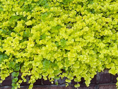 Outdoor: Captivating Creeping Jenny For Your Garden And ...