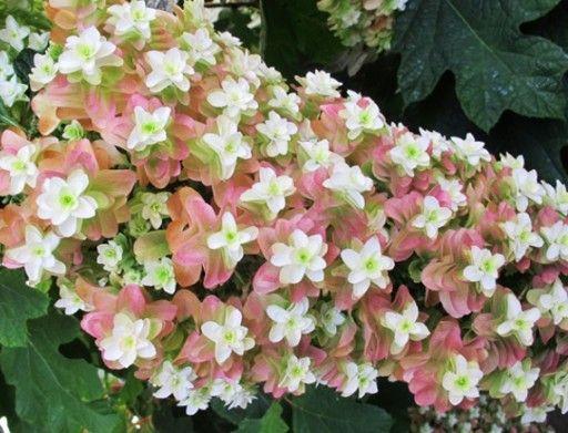 Hortensja Debolistna Snowflake Unikatowe Kwiaty 6672766114 Oficjalne Archiwum Allegro Plants