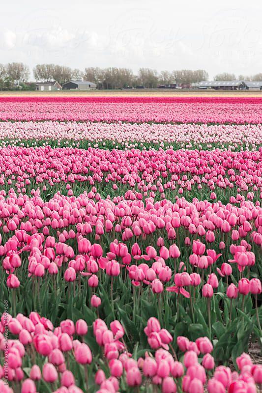 Pink Tulip Field By Jovana Rikalo For Stocksy United Tulip Fields Beautiful Flowers Pink Tulips