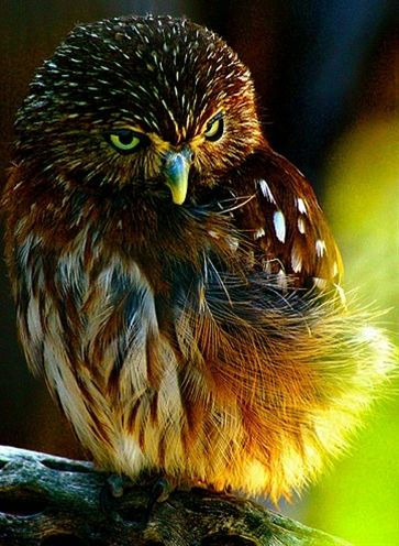 ~~ pygmy owl ~~ - Click image to find more Science & Nature Pinterest pins: