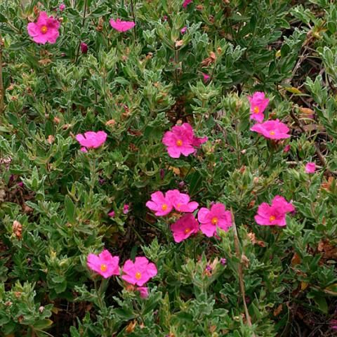 Cistus | Fine Gardening   Rock Rose