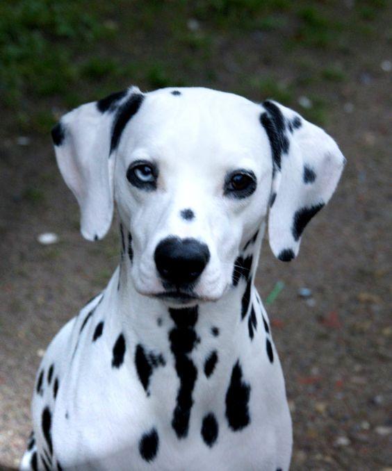 Dalmatiner Chiquita Hunde haben alle guten Eigenschaften der Menschen, ohne gleichzeitig ihre Fehler zu besitzen. Hundename: Chiquita / Rasse: Dalmatiner      Mehr Fotos: https://magazin.dogs-2-love.com/foto/dalmatiner-chiquita/ Foto, Hund, Liebe, Rasse