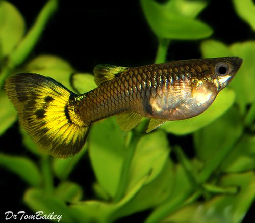 Premium Fancy Female Assorted Guppies 1 To 1 5 Long Guppy Fish Guppy Tropical Fish