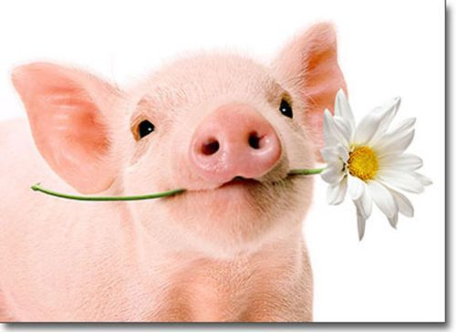 Pig-Holds-Flower-Blank-Card-Greeting-Card-by-Avanti-Press
