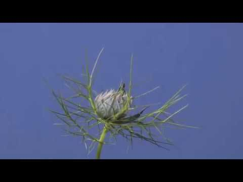 Time Lapse Love In The Mist Nigella Flower Opening Youtube