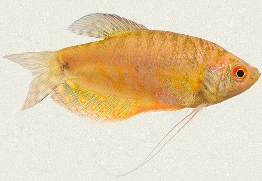 Cosby Gold Gourami Freshwater Aquarium Fish Aquarium Fish Tropical Fish