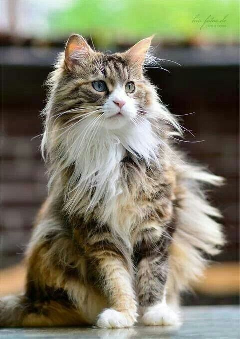 Long Haired Tabby And White Fluffycatsbreedslonghair Beautiful Cats Norwegian Forest Cat Forest Cat
