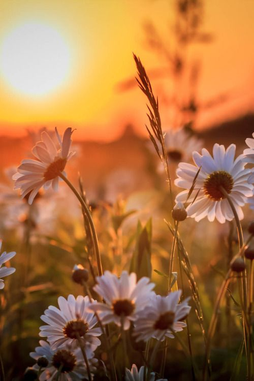 Daisies turning their delicate faces gathering the last bit of warmth and light as the brilliant artistry of the sun paints the sky to its slumber.: