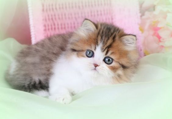 Persian, Kittens and Chang'e 3 on Pinterest