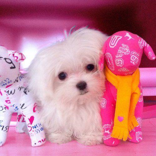 Victoria S Secret Pink S Mascot Tum Tum Pinkheartspink Maltese