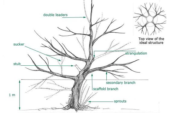 Trees olives and olive tree on pinterest for Pruning olive trees in pots