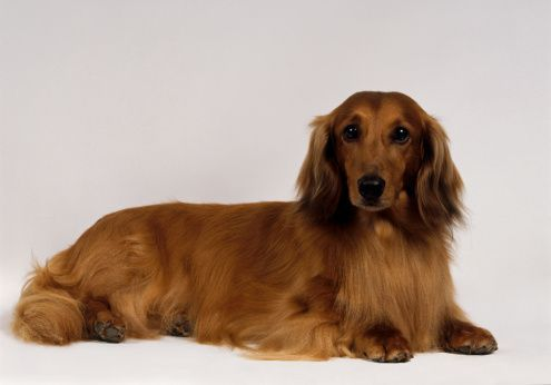 Long Haired Dachshund Red Longhaired Standard Dachshund Red Long