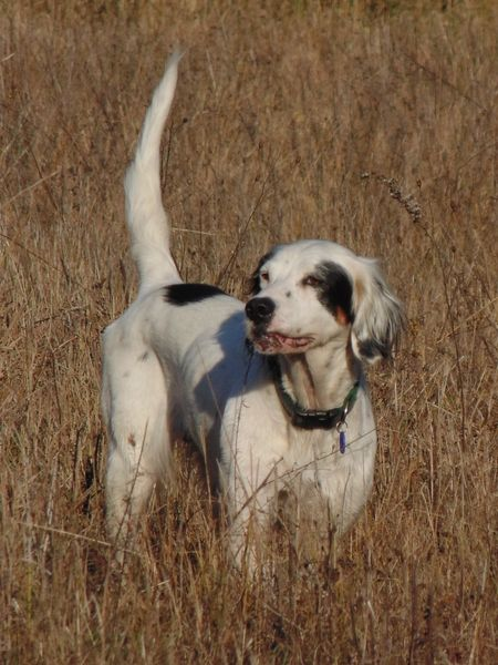 English setter www.superstarpetservices.com