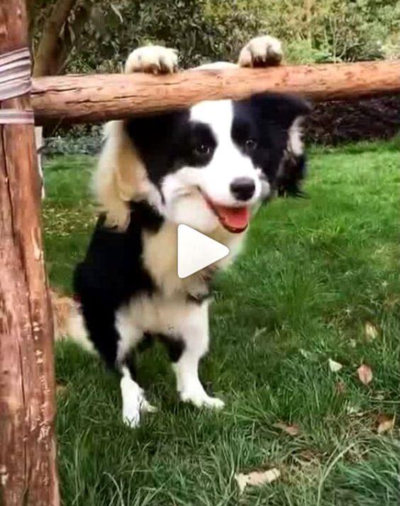 Cachorro e os seus dons de inteligência