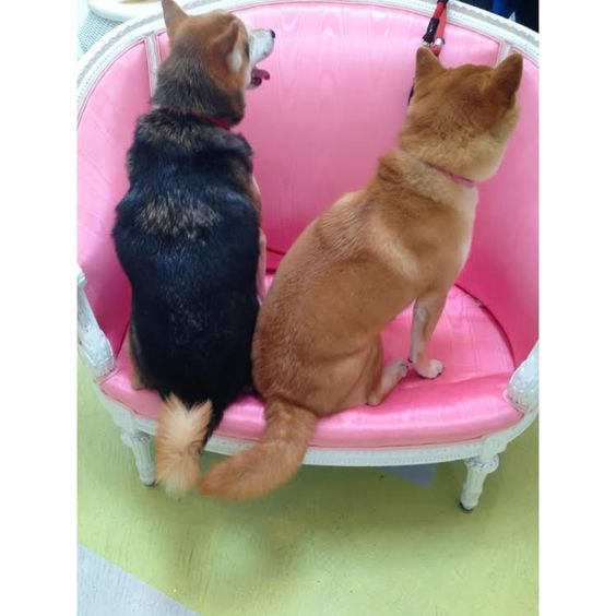 #shibainu #dogs #cute #foxes #lola #nicky the inus of faire frou frou