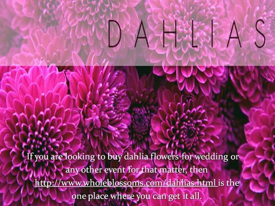 http://www.wholeblossoms.com/dahlias.html is one of the most loved places online when it comes to buying the freshest and most beautiful wholesale dahlias.
