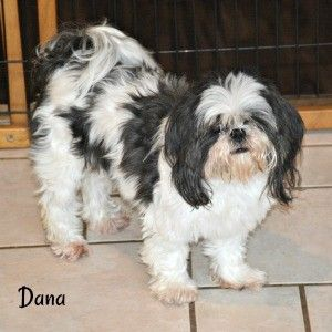 About Shih Tzu Ears Care Cleaning And Maintenance Tips In 2020