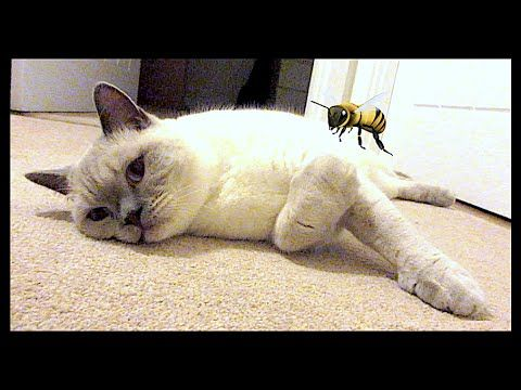 Cat Stung By A Bee Again Chris Eve Youtube Cats British Shorthair Bee