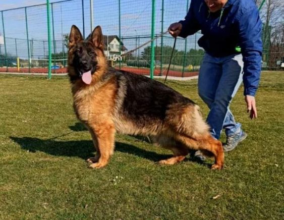 Super Nice German Shepherd For Sale In Germany Asap Vom Aldamar Son 7 In 2020 German Shepherd For Sale Mastiff Puppies For Sale Family Protection Dogs