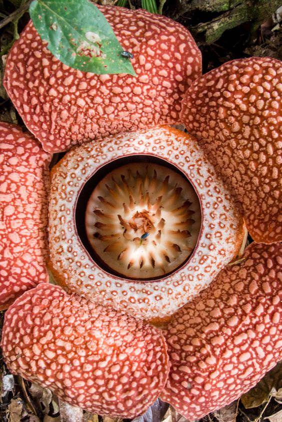 Best Time To See Rafflesia In Malaysia 2020 When Where To See Aziya Raznoe