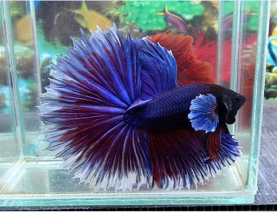 Giant big ear halfsun this betta is over 3 long for Biggest betta fish