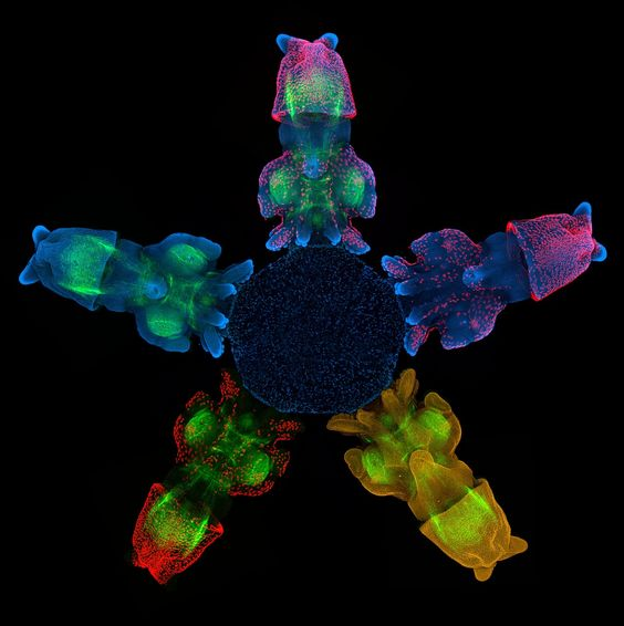 Confocal image of squid,Loligo pealei, embryo stained for for F-actin (green; phalloidin), Acetylated tubulin (red), anti-HRP (yellow), and DAPI (blue; nuclei)  (Source: thenode.biologists.com)