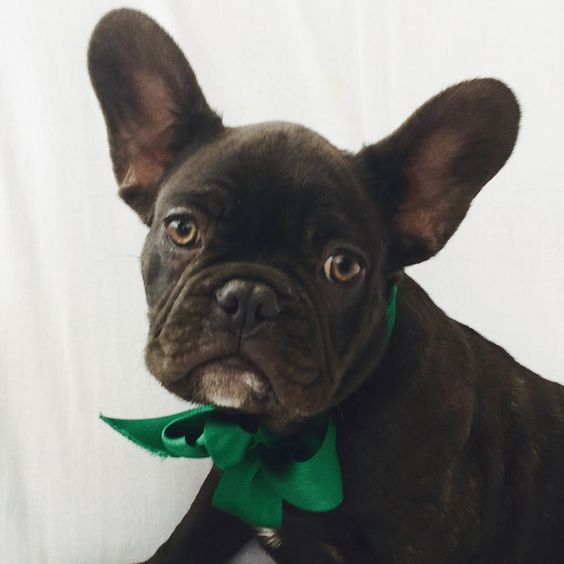 Delicious, Chocolate Male French Bulldog Puppy DNA tested, carries AT, Chocolate & Blue. Ready to leave now. KC registered, Wormed, Flead, Health Checked, Insured, Vaccinated, Microchipped and …