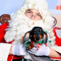 doxie at Christmas