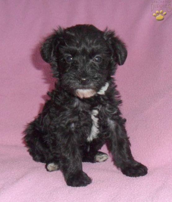 Tessie Schnoodle Puppy For Sale In Butler Oh Lancaster