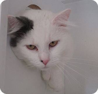 NO LONGER LISTED- Pictures of LIGHTNING a Domestic Longhair for adoption in Duncan, OK who needs a loving home.