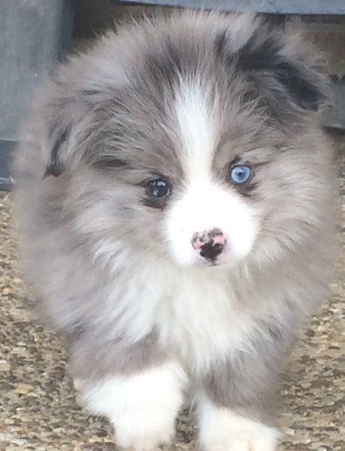 Teacup Australian Shepherd Aussie Puppies For Sale Circle K Farms