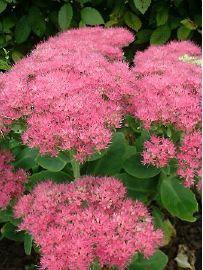 orpin_sedum_spectabile_carmen. floraison sept oct - caduc - 50/40 cm - buissonnant