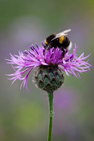 Greater Knapweed - Centaurea scabies is big and showy, like a cross between a cornflower and a thistle, with whiskery petals in a whorl. It is a valuable nectar source for insects and a favourite flower of butterflies, including the Marbled White and Dark Green Fritillary. It also has therapeutic properties, and was once used in skin ointments to heal wounds and infections. Centaurea scabiosa is a truly outstanding wild flower which outshines many cultivated plants.