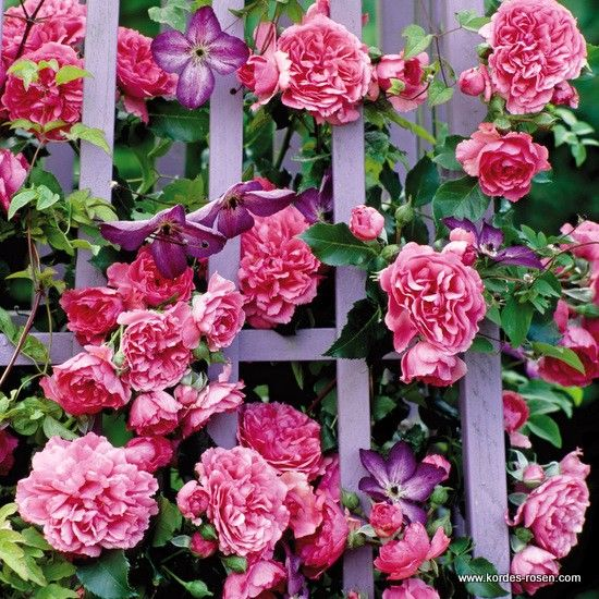 roses clematis combo rosarium uetersen with clematis laminuet the garden pinterest. Black Bedroom Furniture Sets. Home Design Ideas