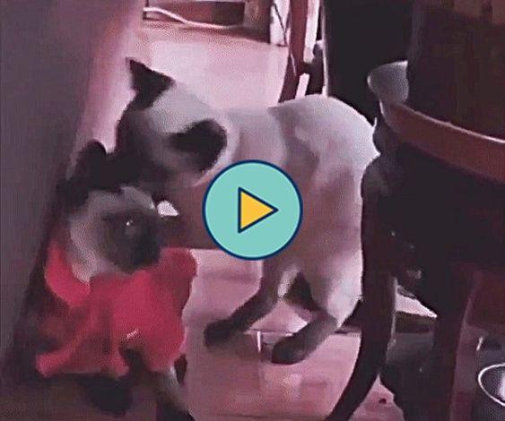 Briga de gato