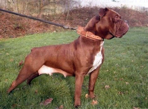 566 sussex bulldog (5)  Regency Bulldog Leavitt Bulldog David Hancock