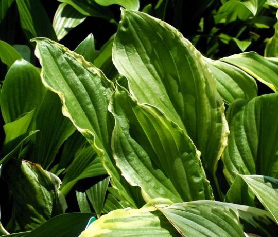 Hosta plants are easy to maintain yet they can get damaged due to harsh weather conditions. You can protect them from this damage by following some simple steps.