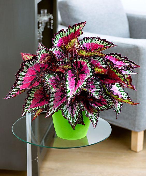 Rex Begonia - Indoor Plant love so pretty: