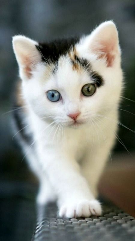 These 22 Cats With Heterochromia Have Captivated Our Souls And We Don't Mind - I Can Has Cheezburger?