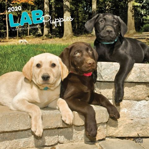 Labrador Retriever Puppies 2020 Calendar With Their Warm Pink Bellies Soft Fur And Beautiful Face Lab Puppies Labrador Retriever Puppies Labrador Retriever