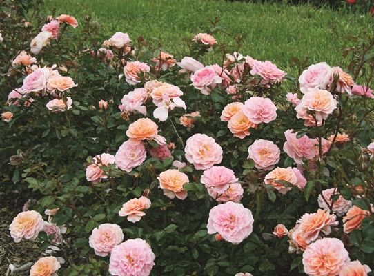 Knock Out Roses as a low growing Hedge Plant | www.greatgard… | Flickr