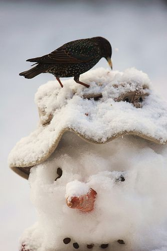 Snowman and Starling, such close friends (pa  r www.willdawesphotography.co.uk)