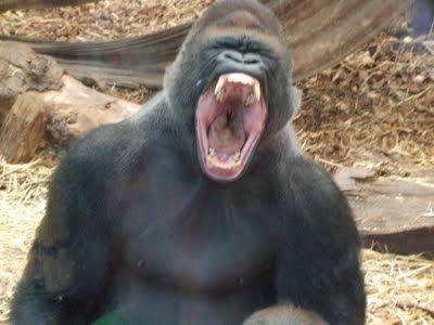 Yawning gorilla | Yawning = Awesome! | Pinterest | Jungles