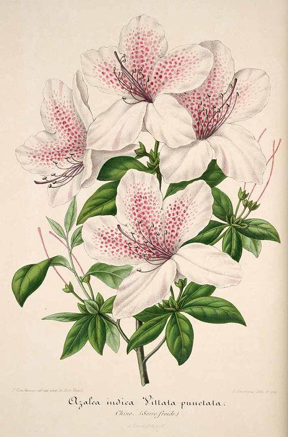 30191 Azalea vittatopunctata Lemaire / L' Illustration horticole, vol. 1: t. 20 (1854):