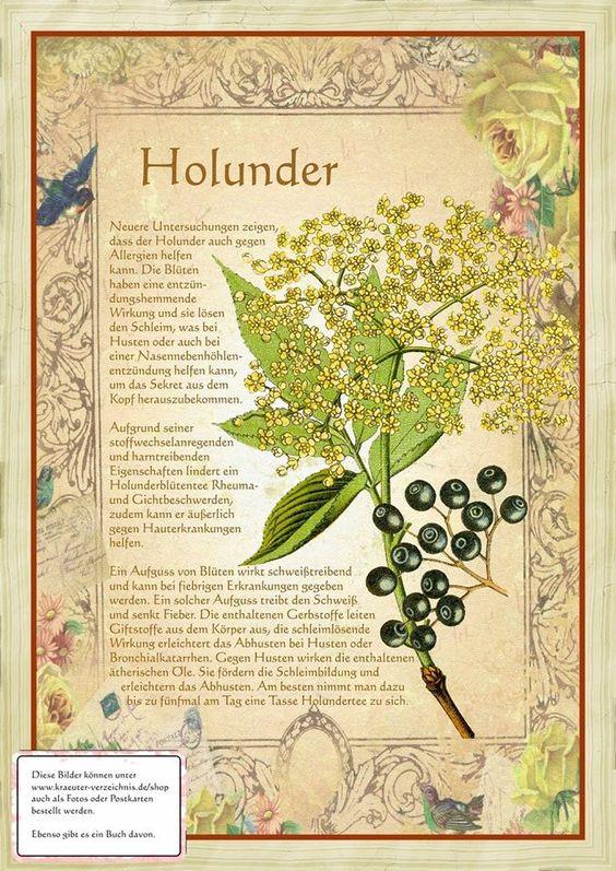 Holunder http://www.kraeuter-verzeichnis.de/