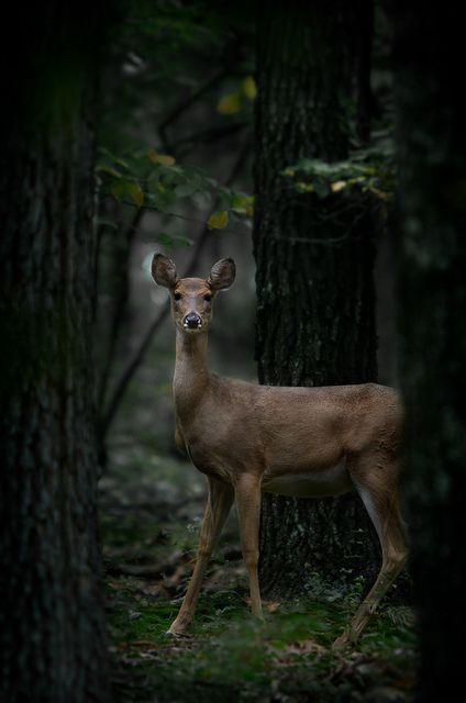 William T Hornaday - Deer
