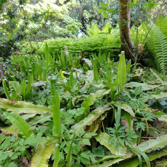 Die Hirschzunge (Asplenium scolopendrium) ist unser urtümlichster heimischer Farn.